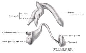 corpus cavernosum pénisz lassú erekciós kezelés