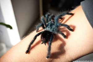 Pókcsípések: veszélyes pókok, illetve hogyan kezeljük a csípésüket? - Ízeltlábú fajok