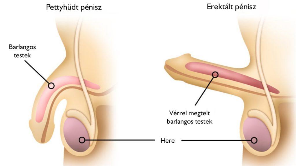 erekció a vizsgálat során)