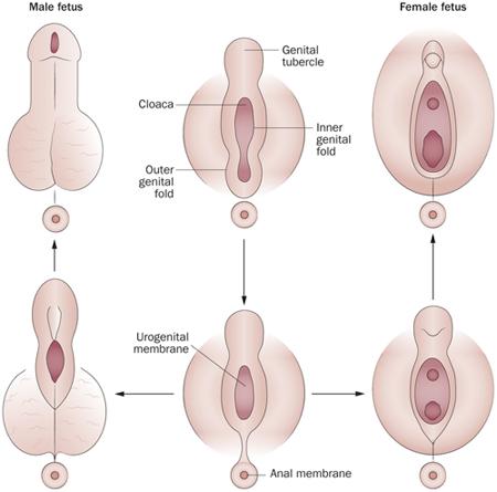 a pénisz normája