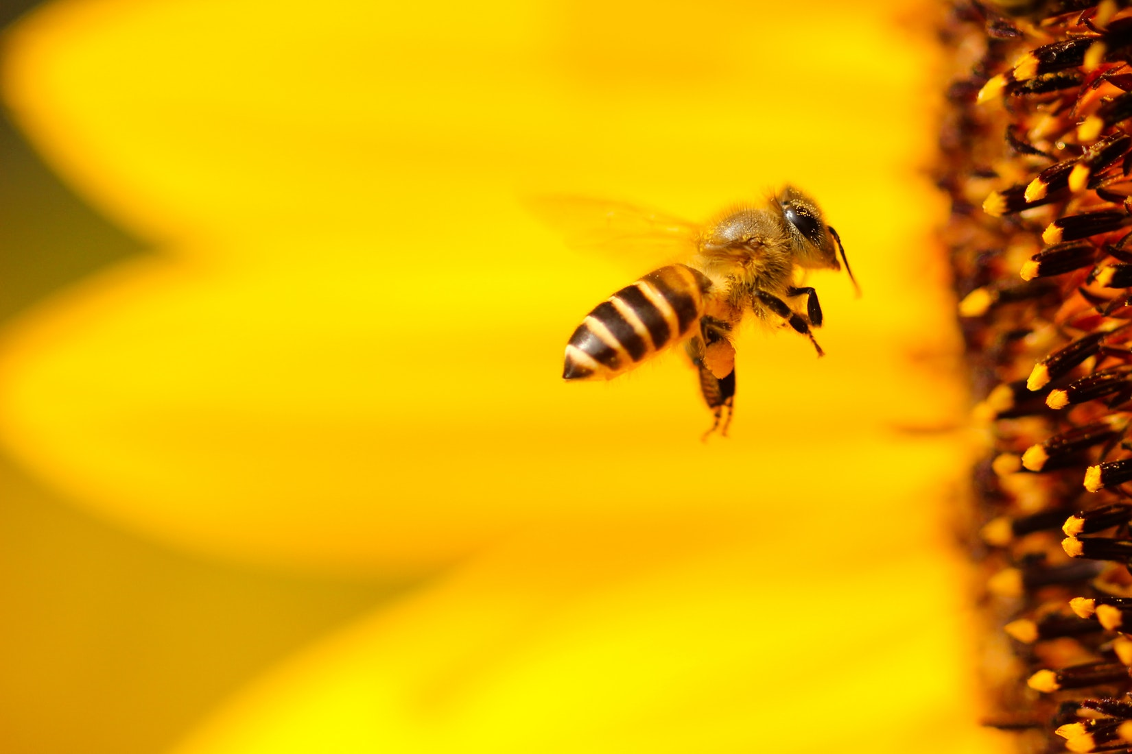 méh a péniszen)