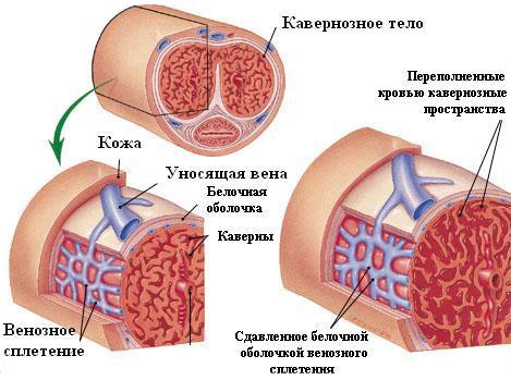 a pénisz erekciójának szerkezete