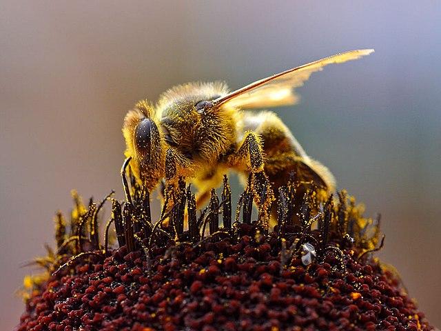 méh pollen az erekcióhoz miért van erekció, de nem éri meg