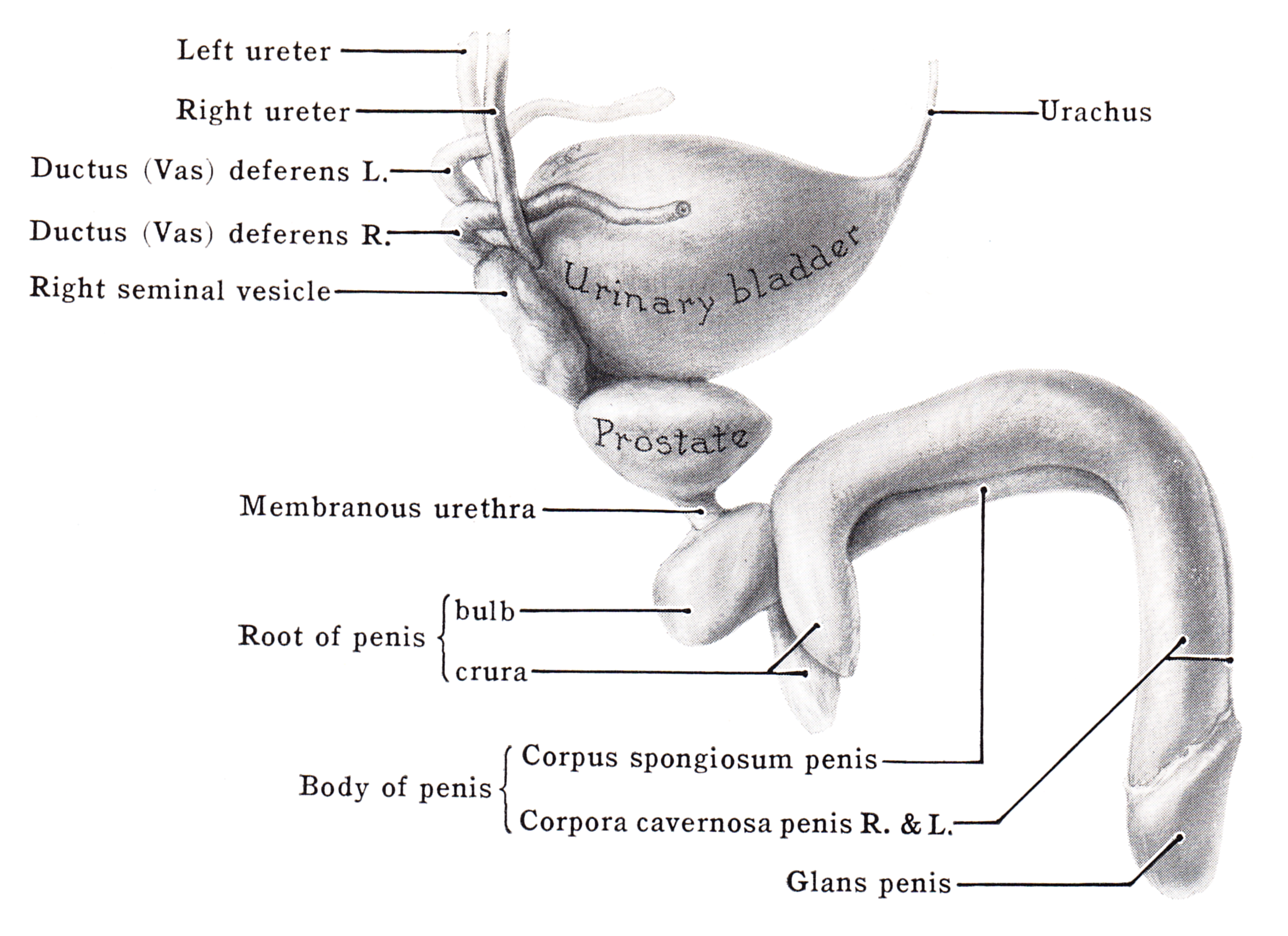 corpus cavernosum pénisz hogyan lehet erekciót felemelni masszázzsal