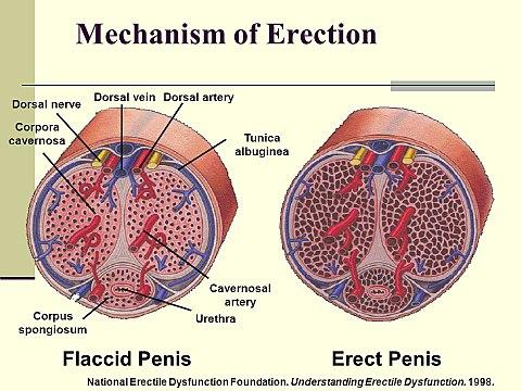 erekció meleg)