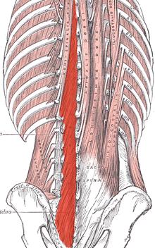 a perineum erekciójának izmai