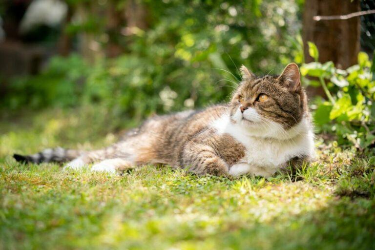 Amit tudni kell a nőstény macskák ivartalanításáról