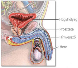 A férfi nemi szervei