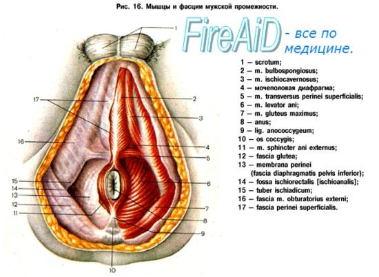 a perineum erekciójának izmai)