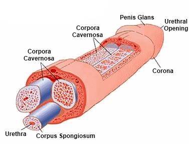 mi az erekció és mikor jön létre erekció során