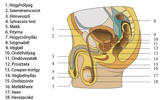 a hímvessző férfi szerkezete