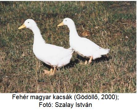 hím kakas az erekcióban nagy)