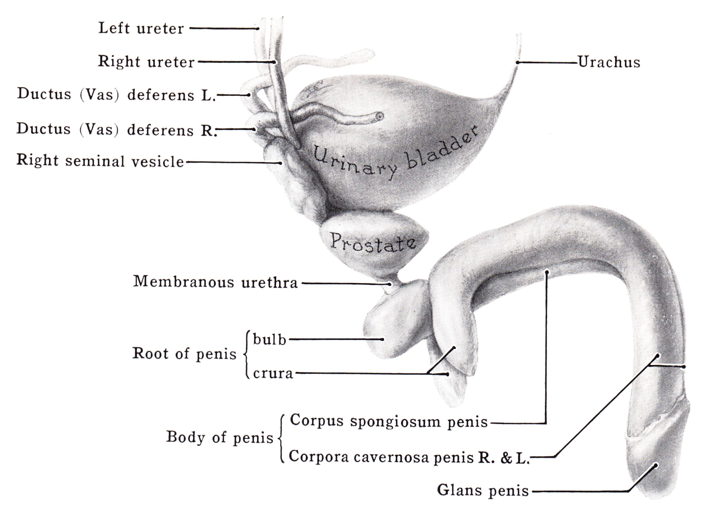 pénisz corpus cavernosum)