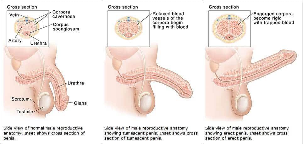 a pénisz hajlásszöge az erekció során