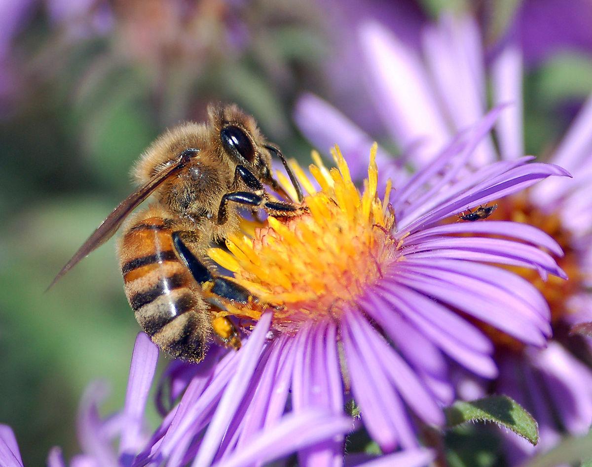 méh pollen az erekcióhoz