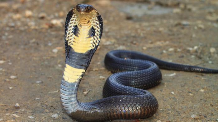 Az álom jelentése a kígyókkal |