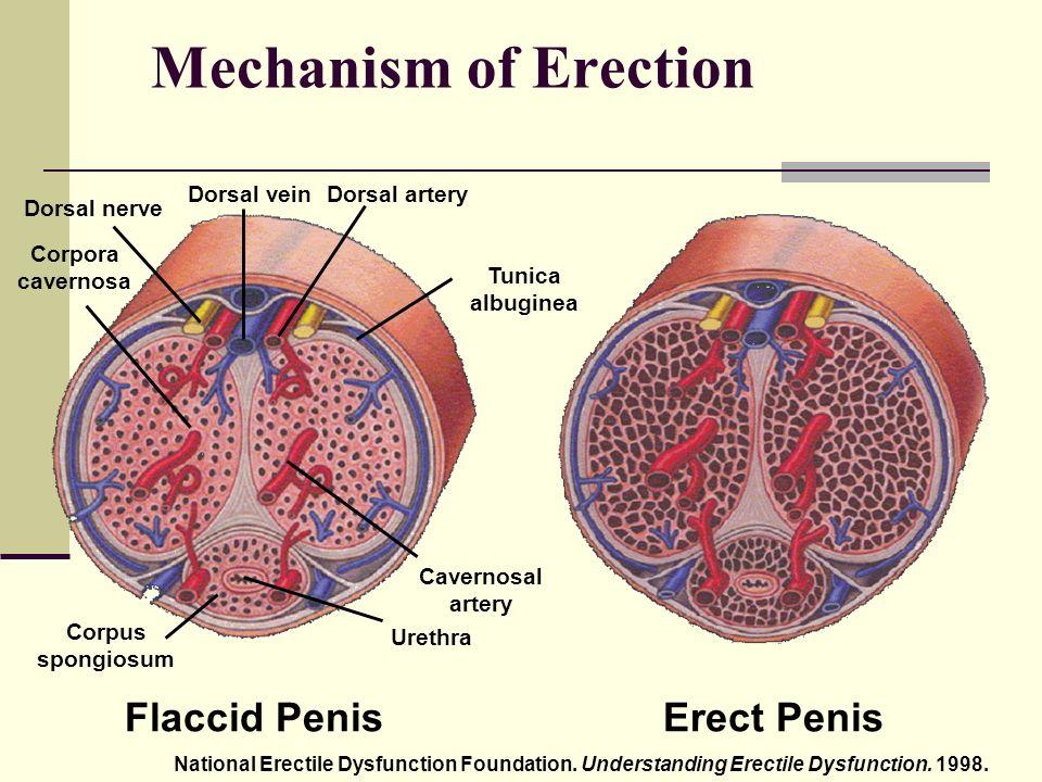 az izgalom és az erekció mechanizmusa