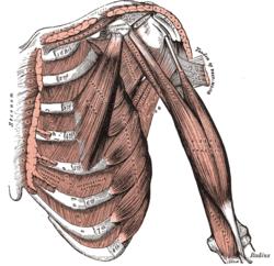 Musculus ischiocavernosus – Wikipédia