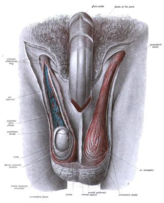 hogyan képzik a péniszt